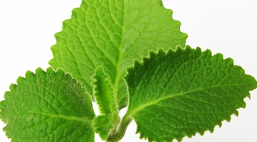 Coleus leaf essential oil
