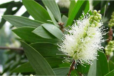 Melaleuca and its essential oil